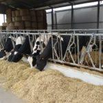 vacche da latte-unibo e PennState
