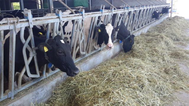 vacche in greppia-migliorare l'efficienza digestiva