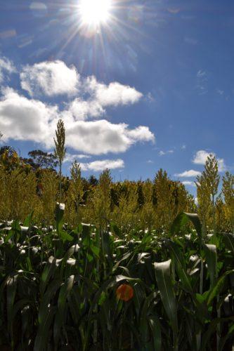 mais-cambiamenti climatici influenzano le aflatossine
