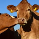 mucche fertilità-i calori delle bovine