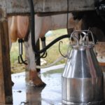 vacca latte mungitura
