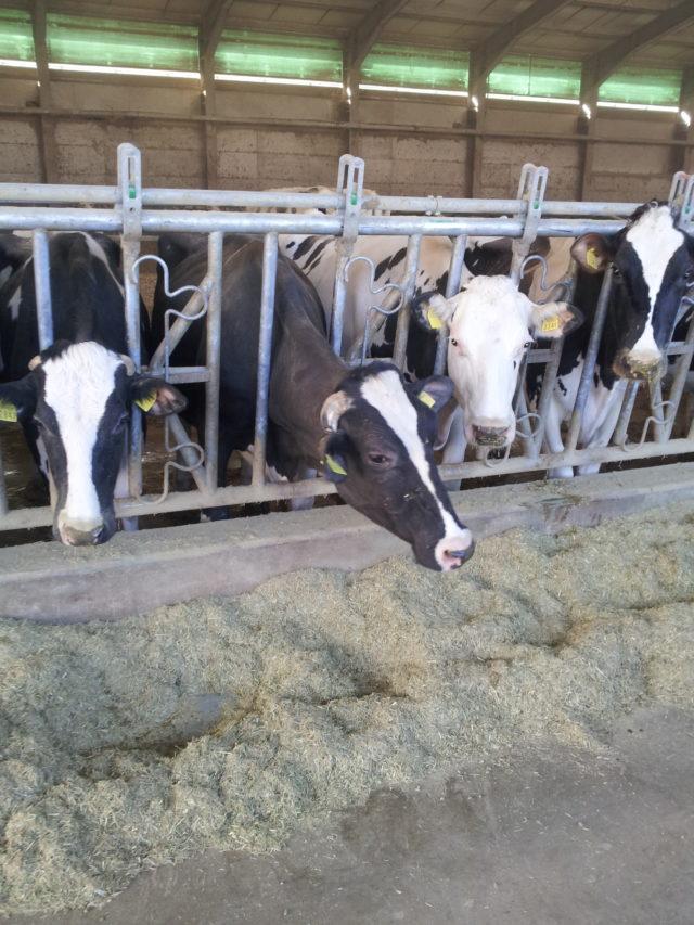mucca- le dismetabolie nella produttività
