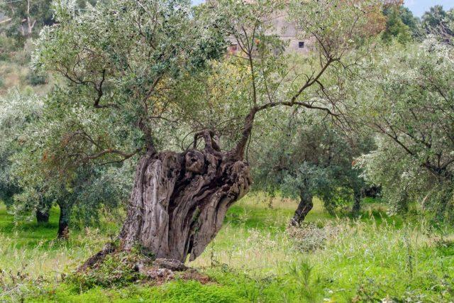 olivo puglia-Micosat F Olivo contro la Xylella