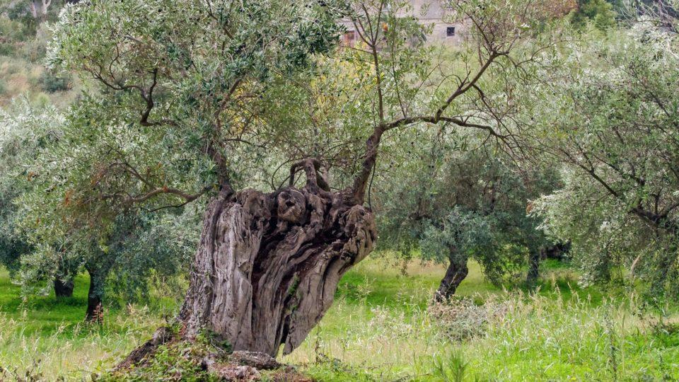 olivo puglia