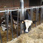 vacca che beve-qualità dell'acqua