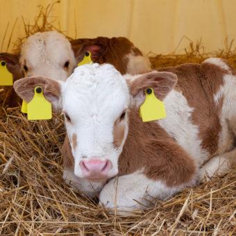 zooassets-press-vaccinazione-vitello