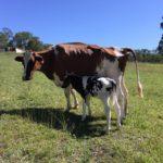 vacca e vitello-fasi di asciutta e transizione