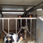 gestione vitellaia per migliorare la produzione delle futura vacche