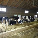 vacche in asciutta