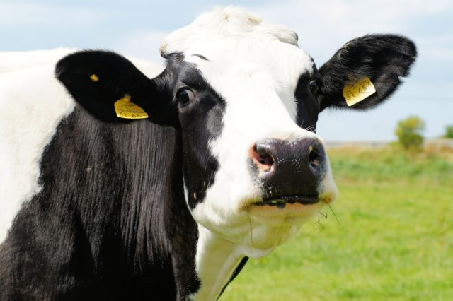mucca frisona-vantaggi mungitura pre parto