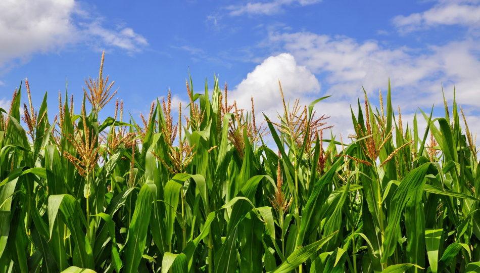 Green stalks of corn under clouds.