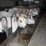 bovini da carne-stress da caldo compromette il benessere del bovino