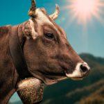 vacca-stress da caldo-zoo assets