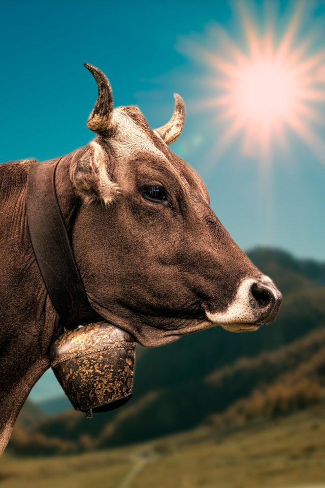 vacca stress da caldo