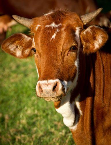 acidosi ruminale-i danni ai bovini da carne