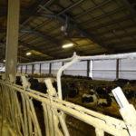 raffrescamento delle stalle in estate