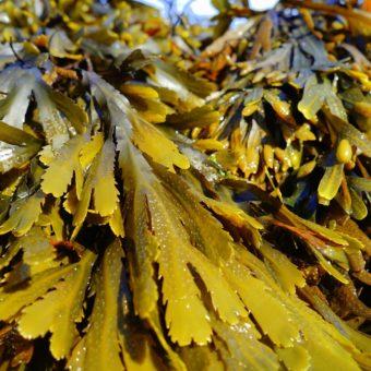 alga come laternativa agli antibiotici per suini