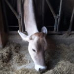 mangime mucca-alimentazione animale