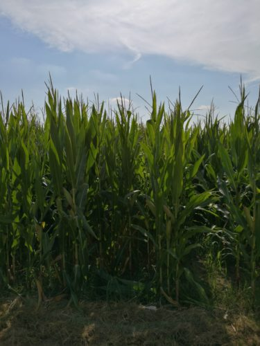 il mais e l'irrigazione