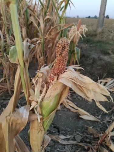micotossine-contaminazione del mais