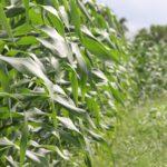 irrigazione mais
