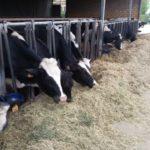 vacche stalla-veterinario aziendale