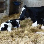 vita di zooe-mucca e il suo vitellino