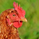 Come fronteggiare aviaria