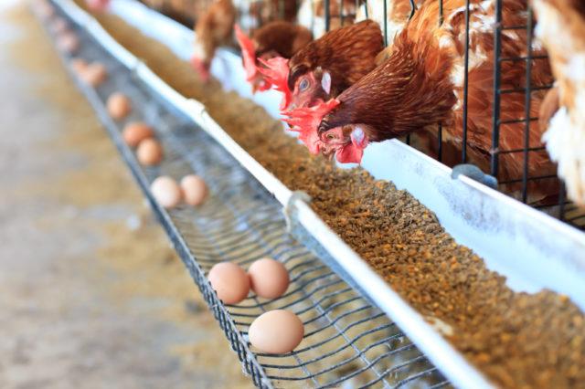 alimentazione animale-galline e uova