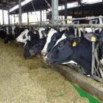 metabolismo dei minerali-conseguenze sanitarie-mucche