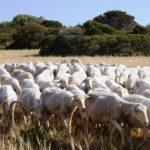 ovicaprini: il mercato di carne latte e derivati