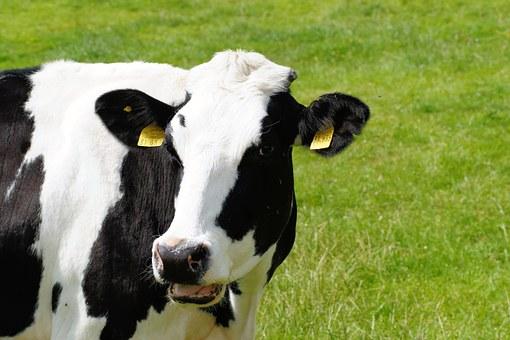stress da caldo per le mucche