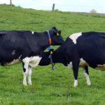 prevenzione mastite bovina