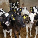 La gestione efficace ed efficiente della vitellaia-vitelli