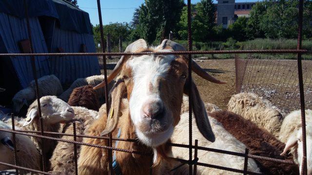 Tossiemia gravidica di pecore e capre-zoo assets