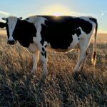microclima per vacca da latte zoo assets