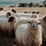 La filiera ovina in Italia