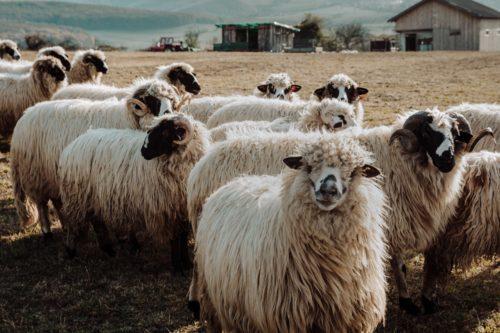 filiera ovina in Italia - Zoo Assets