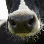 Le Pasteurellaceae nei vitelli sani - Zoo Assets