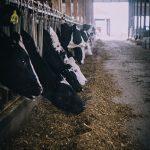 Modalità per prevedere l'ingestione delle bovine da latte - Zoo Assets