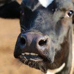 Attraverso i denti si può scoprire l'età dell'animale
