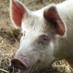Livelli di zinco nella nutrizione suina da ingrasso - Zoo Assets