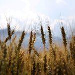 assicurare l'efficacia della concia della semente