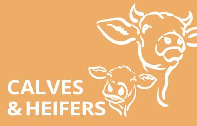 Heifers and calves
