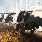 Zoo Assets_progetto asciutta della vacca da latte