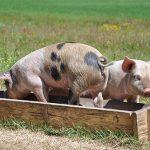 Zoo Assets_dimensione ottimale della mangiatoia per i suinetti